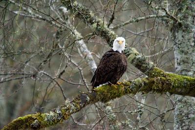 2008 (Dec) Skagit River Bald Eagles