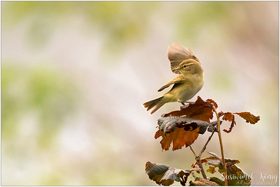 Chiffchaff and Warbler
