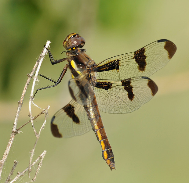 Libellula pulchella (Twelve-spotted Skimmer), CO - female