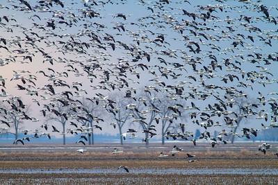 Goose Migration W MN Grant & Wilkin Counties April 2019
