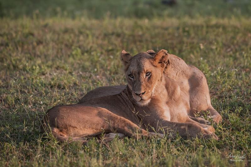 Lion_1499.jpg