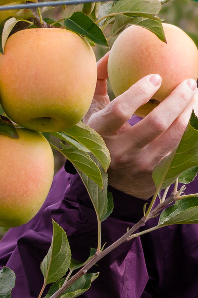Fall Apples 2012