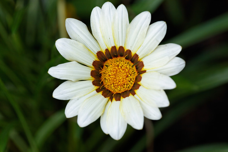 Treasure flower (Gazania rigens)