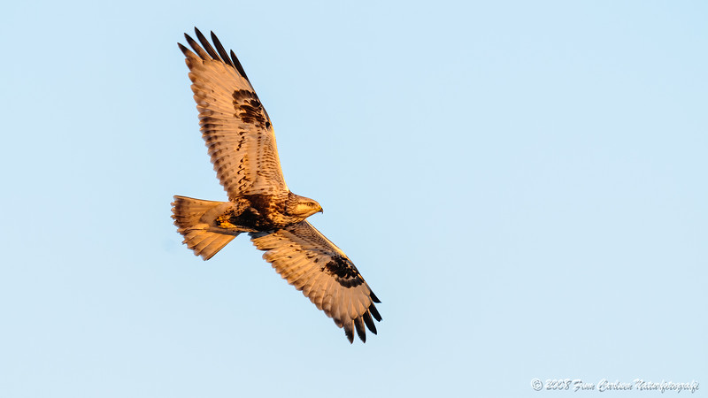 Fjeldvåge (Buteo lagopus - Rough-legged Buzzard)