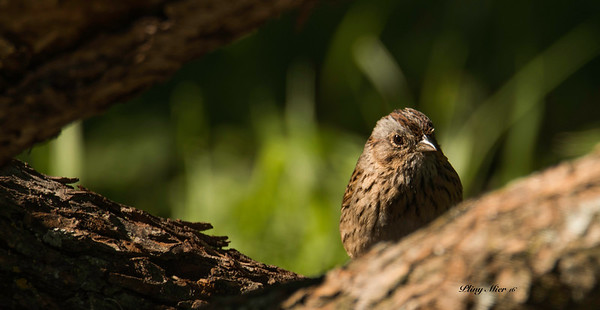 Lincoln Sparrow_DWL4127-2.jpg