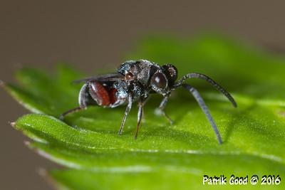 Agile Hairy Chalcid Wasp