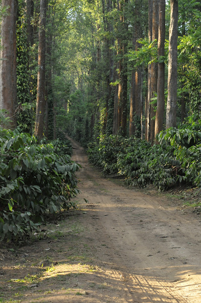 A road through the plantation. Coffee is on the low growing bushes, and pepper vines climb the higher trees.