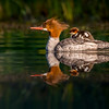 Common Merganser and Duckling