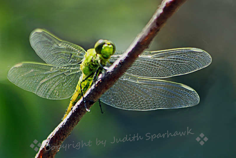 Green Dragonfly ~ I was surprised to find this bright green dragonfly in the shrubs near the pond in Colorado.  I am still trying to ID him, but I did not find him in my California book, and will keep trying.  I loved the detail on his wings, and the bright green color.