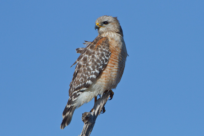 Red-shouldered Hawk, Viera Wetlands