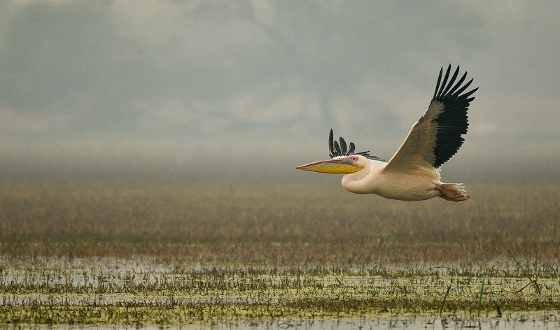 Great-White-Pelican-Bharatpur.jpg