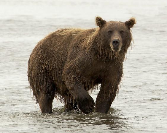 2012 Bears of Lake Clark National Park, Alaska