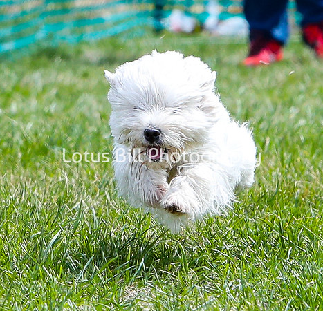West Highland Terrier DH