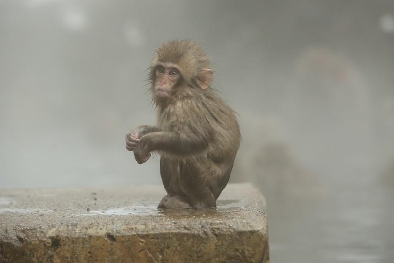 Kawaii Monkey (cute baby monkey)
