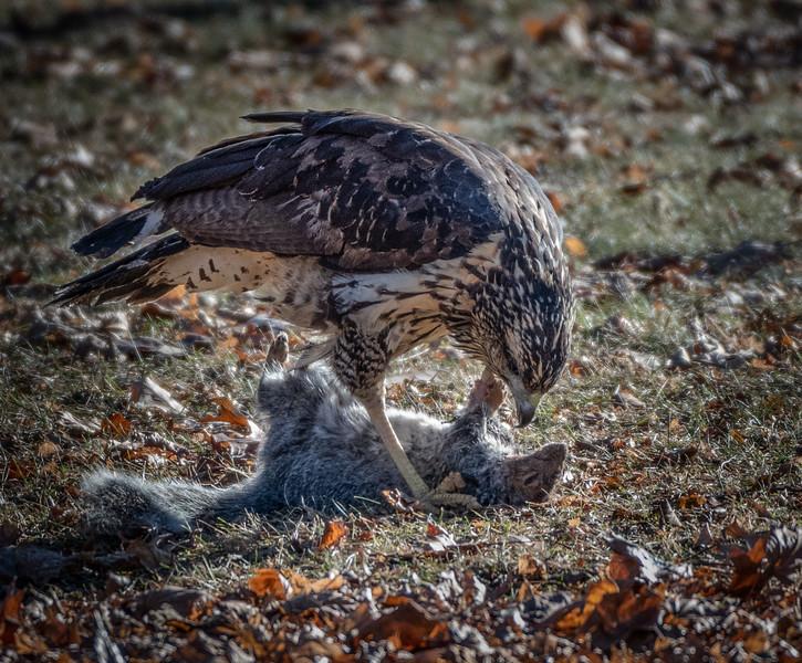 Great Black Hawk with squirrel lunch