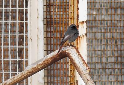 Redstarts (local)