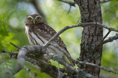 Owl, Ferruginous Pygmy