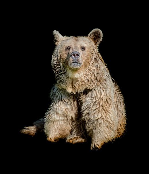 Cute Syrian brown bear sitting and looking at camera