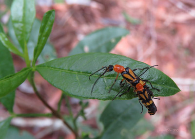 Cantharidae (Soldier beetles)