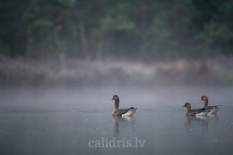 White-fronted Geese in a morning mist in lake during Autumn migration