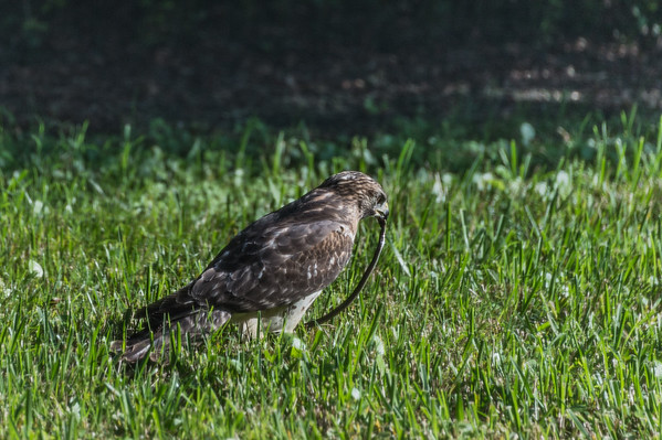 A Hawk with a Snake