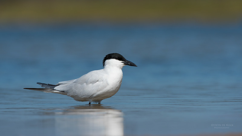 Gull-billed Tern, Lake Wollumboola, NSW, Nov 2014-2.jpg