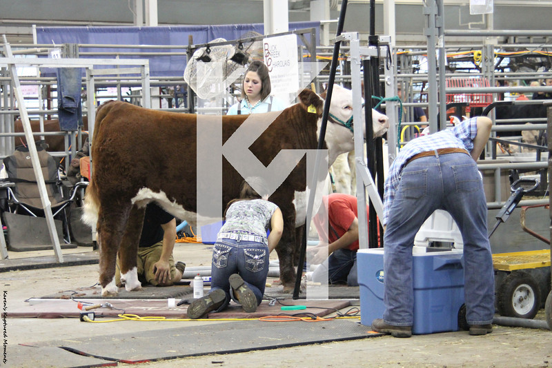 4-H Cattle - 1st day