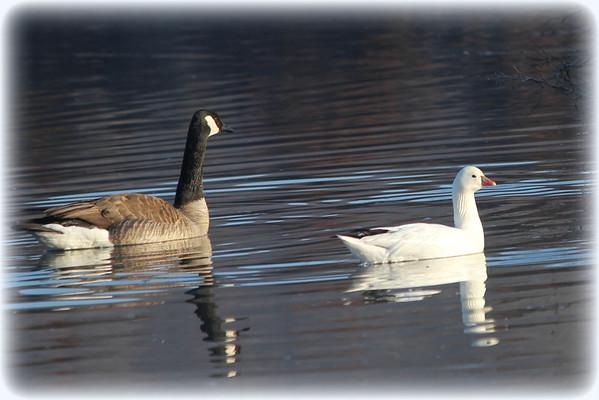 Ross's Goose-France Park 3/28/2013