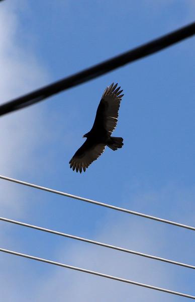 Vultures in Tewksbury 040420