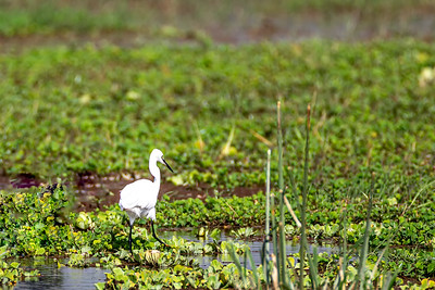 Silkehegre (Little Egret)