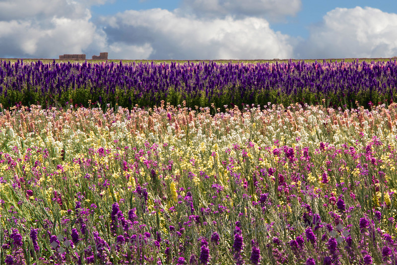 The Flower Fields - Judith  Sparhawk