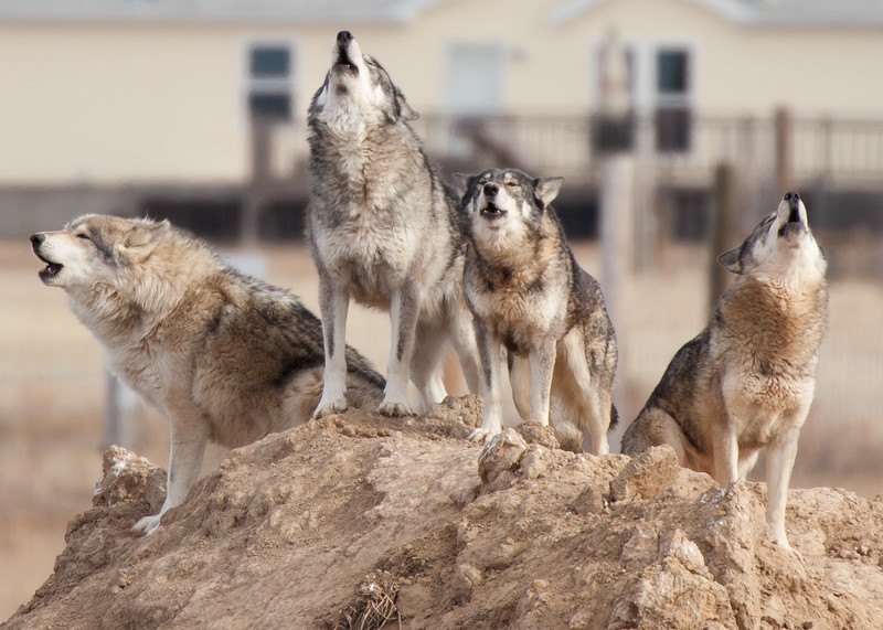 8137 Wolves.JPG