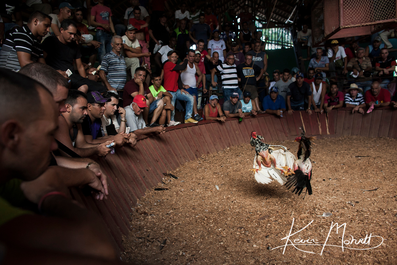 Two roosters attack each other in an arena in a rural area outside La Palma, Cuba on July 17, 2016. Although cockfights are a well-known Sunday activity, they do not attract the average Cuban.  Cockfights are violent and tend to draw mainly the fanatics who enjoy the intensity of the sport and the gambling.