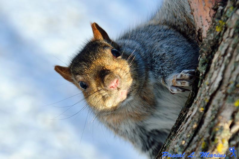 Écureuil par -40°
