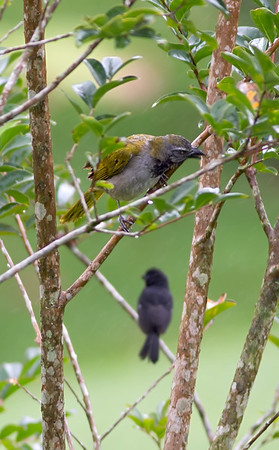 Buffthroated Saltator