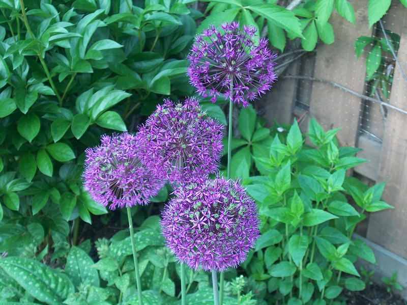 Giant Alliums.JPG
