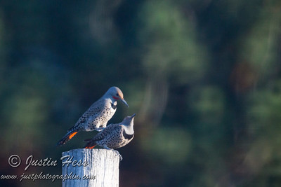Northern Flicker Pair 04-14-2017