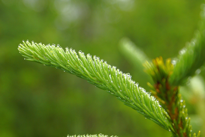 After a rainstorm, water droplets would coat all of the balsam fir and spruce trees in the area. I especially loved the way the water formed small pearls on each of the needles.  Photo taken 24 June 2010.