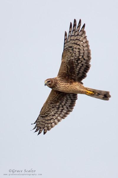 N. Harrier_S246658.jpg