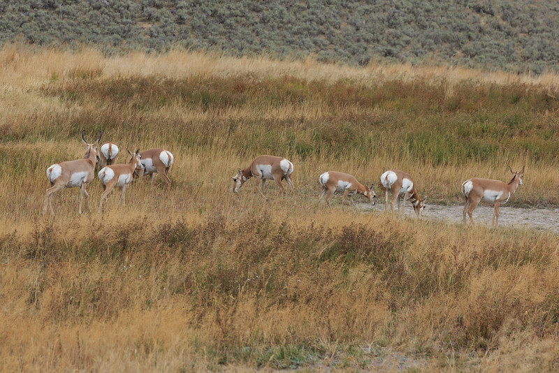 Pronghorn Antelope 002