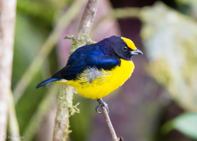 Orange-bellied Euphonia male at Sachatamia Lodge, Ecuador (03-03-2014)-22.jpg