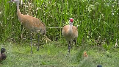 Sandhill crane baby footage