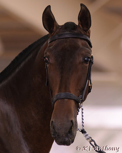 2011 Pure Spanish Stallion Santo ADP