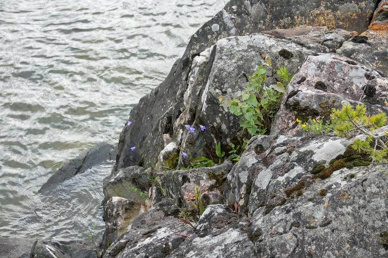 Campanula rotundifolia, Backblåklocka, Campanulaceae, Klockväxter
