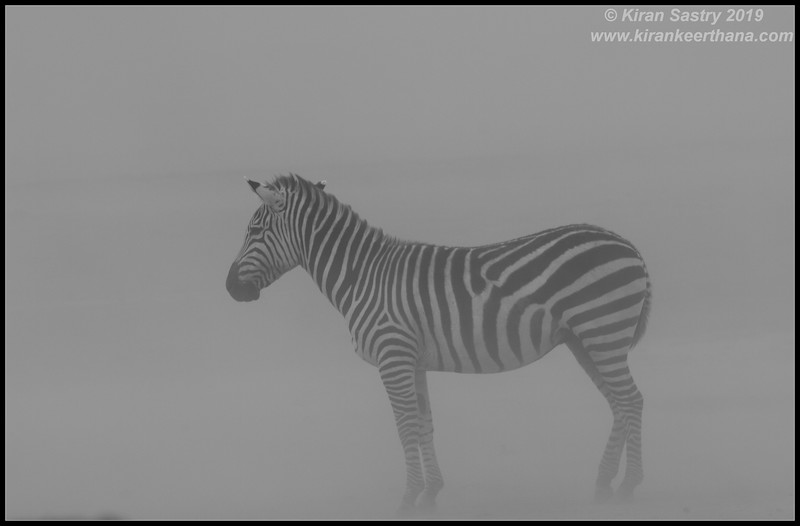 Zebra in a sandstorm, Ngorongoro Crater, Ngorongoro Conservation Area, Tanzania, November 2019