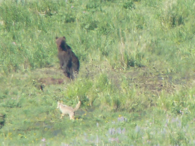 Yellowstone 2011 - Bears with Coyotes