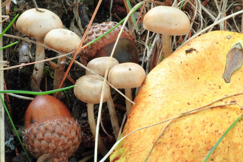 Mushrooms & Acorns- Mallard Lake