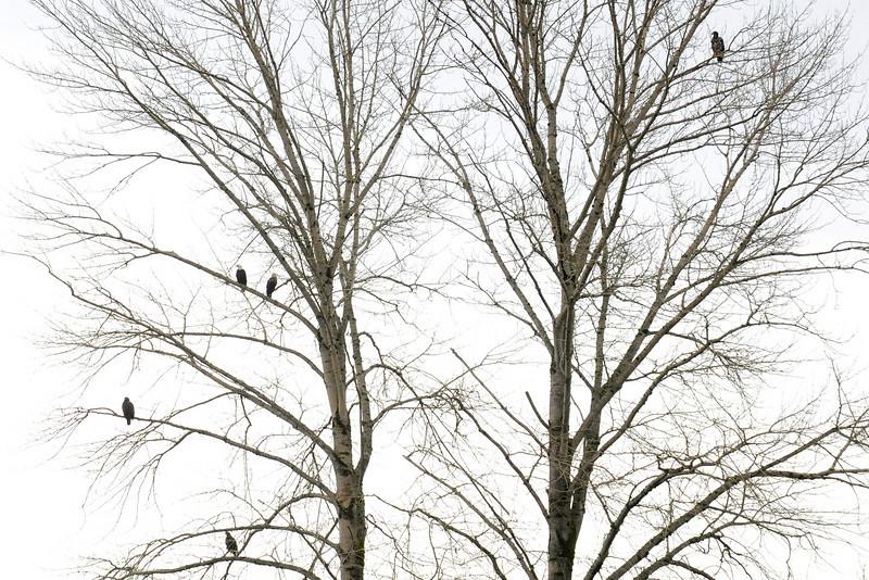 five egles.jpg
