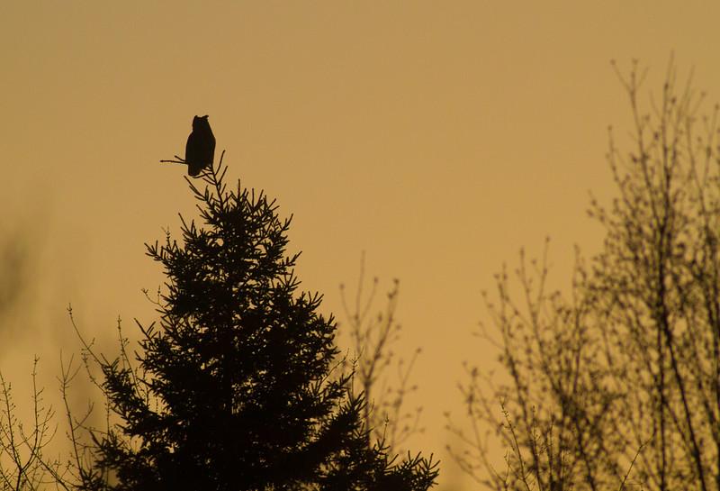 Great Horned Owl Duluth CBC Christmas Bird Count Duluth MN IMG_3803.jpg