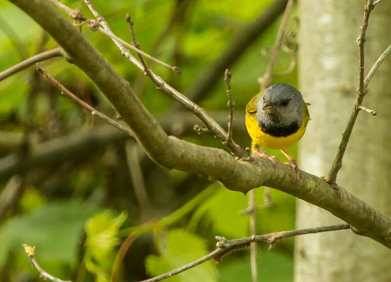 Mourning Warbler (Photo by Richard Girardin)